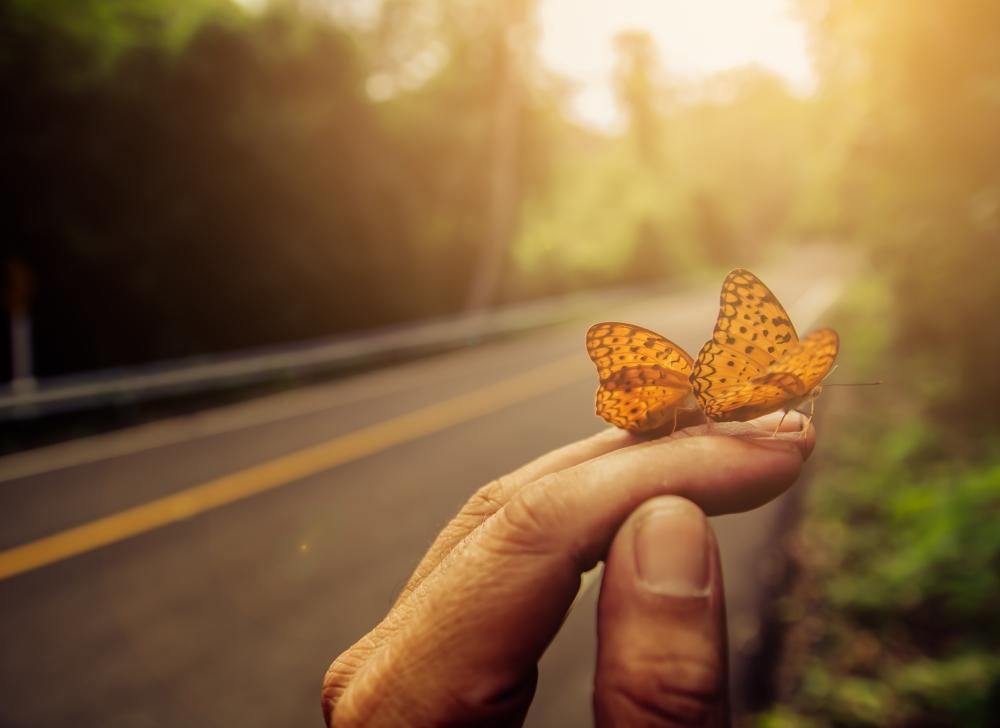 mariposa ocaso